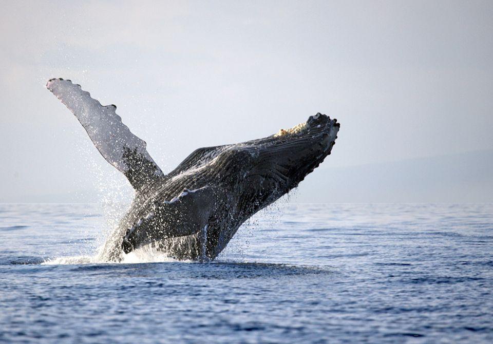 Artenschutz: Buckelwal vor Hawaii: Nicht länger schutzwürdig?