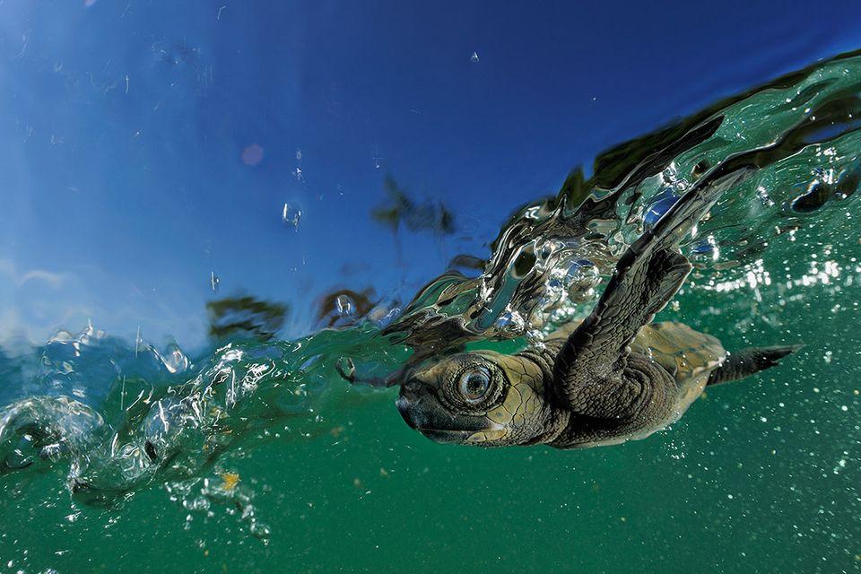Meeresbiologin gewinnt GEO-Stipendium 2015: Sonnenschutz für Schildkröten?