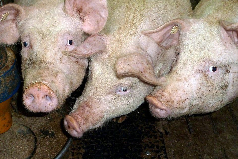 Schweinemast: Zwischen Tierschutz und Etikettenschwindel