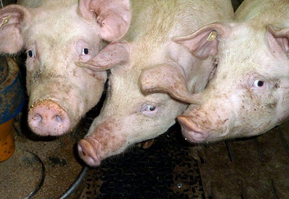 Schweinemast: 0,35 Quadratmeter mehr pro Tier und was zum Knabbern. Ist das schon Tierschutz?