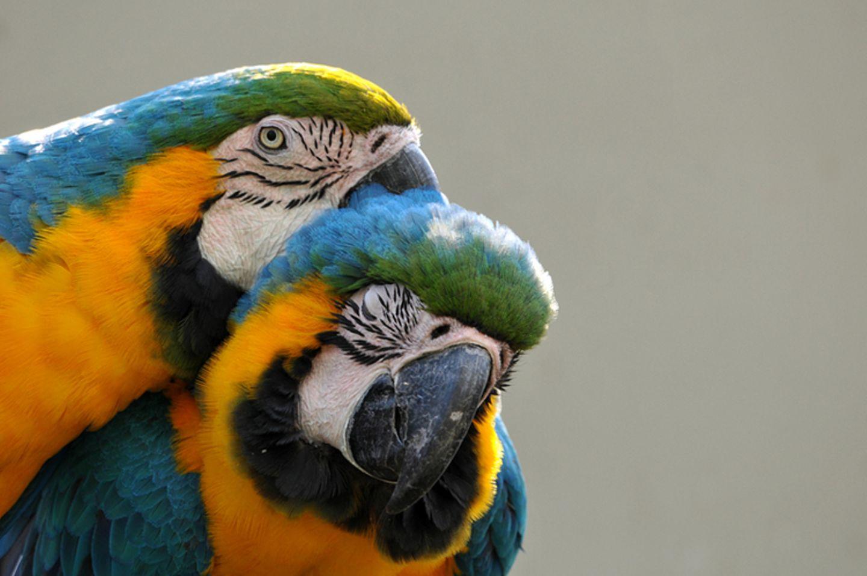 Tierlexikon: Zwei prächtige Papageien