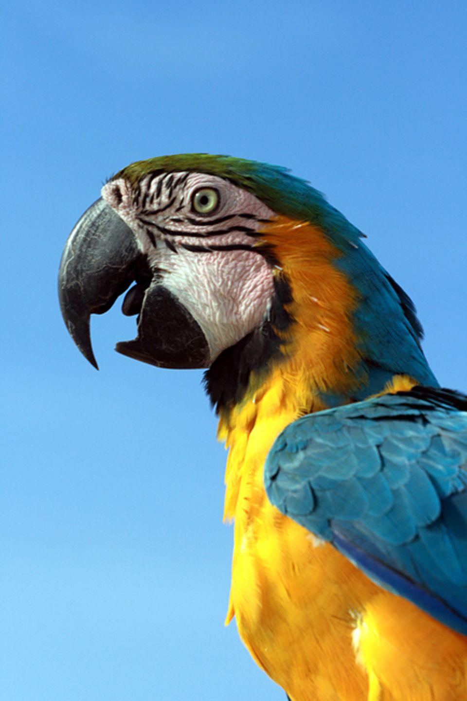 Tierlexikon: Papageien leben auf fast allen Kontinenten und in sehr unterschiedlichen Lebensräumen