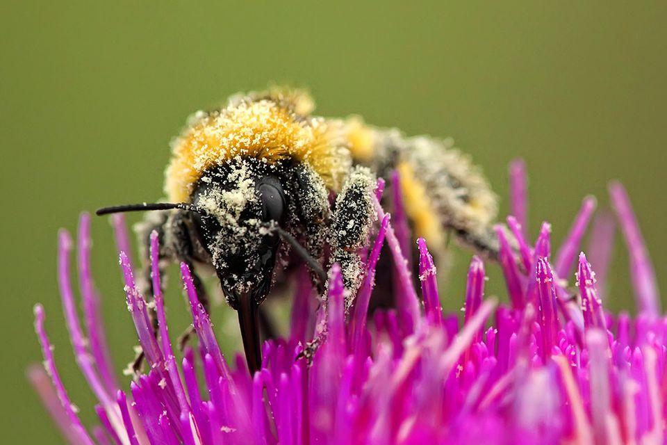 Umwelt: Pollensterben