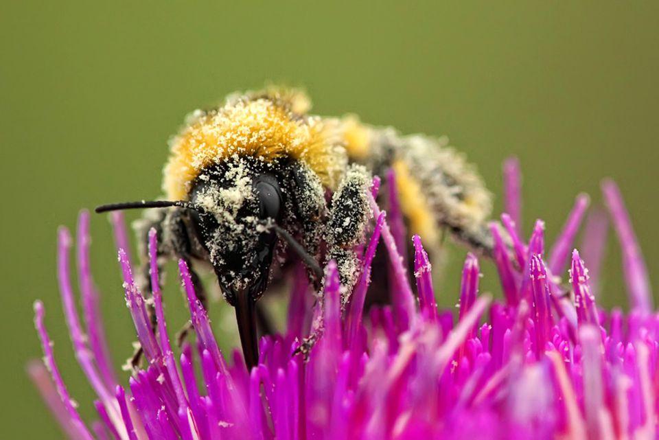Umwelt: Gehen Wildbienen die Pollen aus?