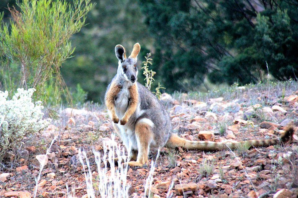 Flinders Ranges: Unterwegs zum Gelbfuß-Felskänguru