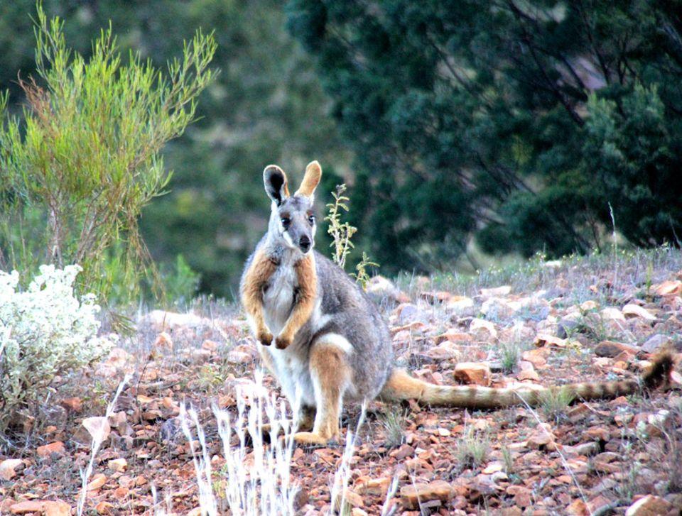 Flinders Ranges: Die Gelbfuß-Felskängurus haben eine erwartete Lebenszeit von bis zu 10 Jahren