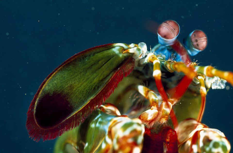 Fangschreckenkrebs: Der Pfauen-Fangschreckenkrebs (Odontodactylus scyllarus) bewohnt die tropischen Gewässer rund um Indonesien, Lembeh und Sulawesi