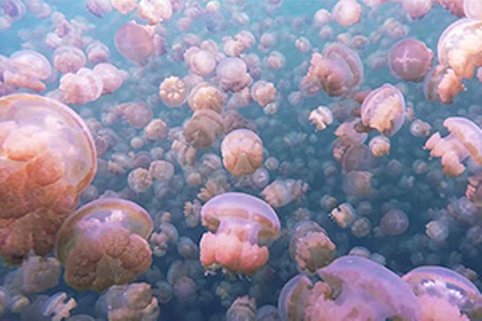 Palau: Video: Schnorcheln im See der Quallen