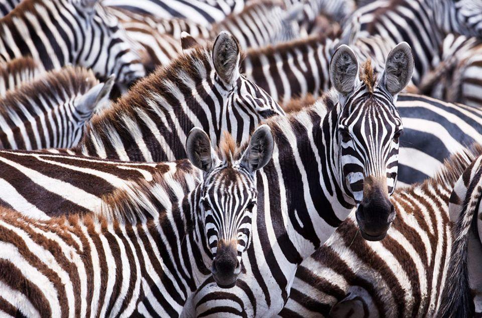 Neue Studie: Die Streifen der Zebras dienen womöglich als Klimaanlage