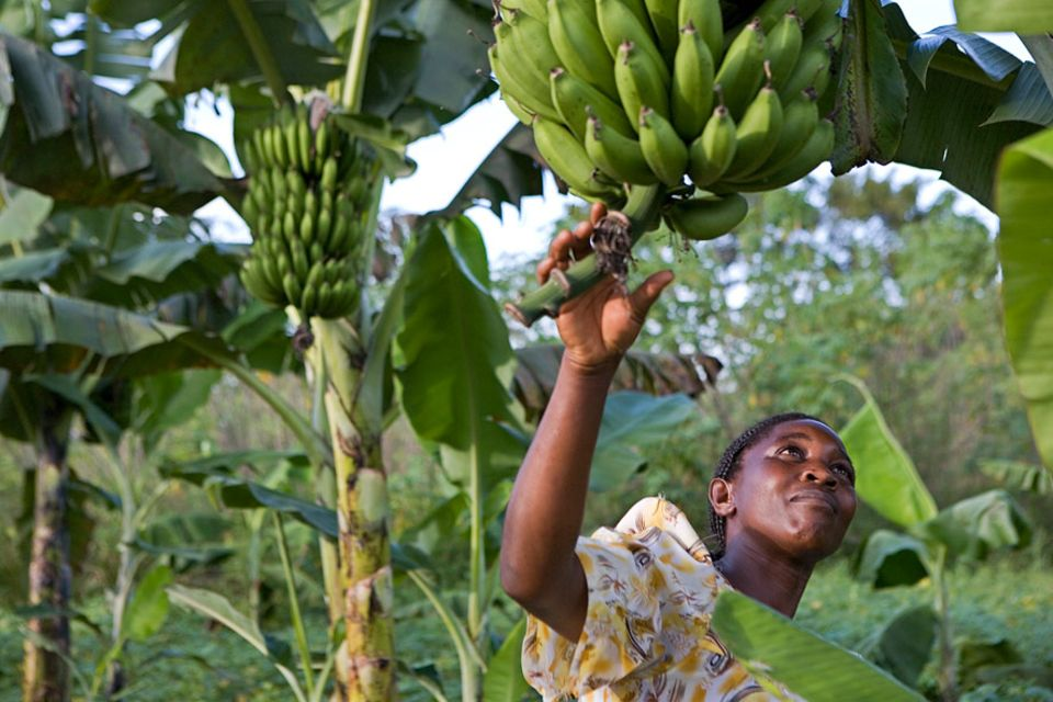 Biolandbau in Zahlen: Es geht auch ohne chemisch-synthetische Pestizide: Biologischer Kochbananen-Anbau in Uganda