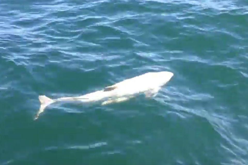Ostsee: Extrem seltener weißer Schweinswal gefilmt