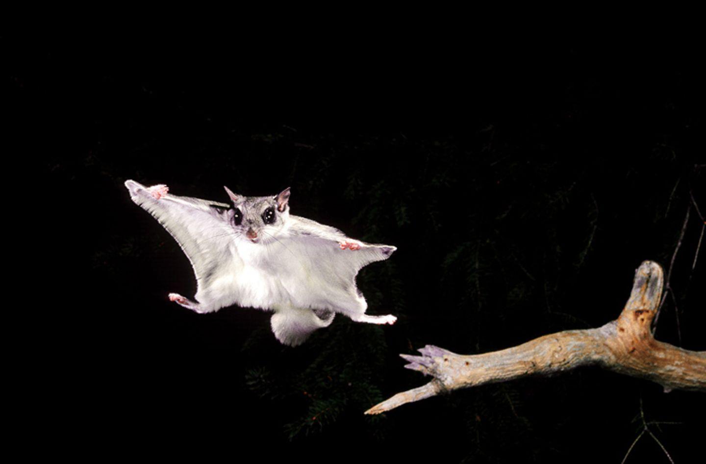 Tierlexikon: Gleithörnchen sind gesellig: Wenn die Nager nicht gerade in ihren Baumhöhlen schmusen, jagen sie sich gegenseitig durch die Lüfte