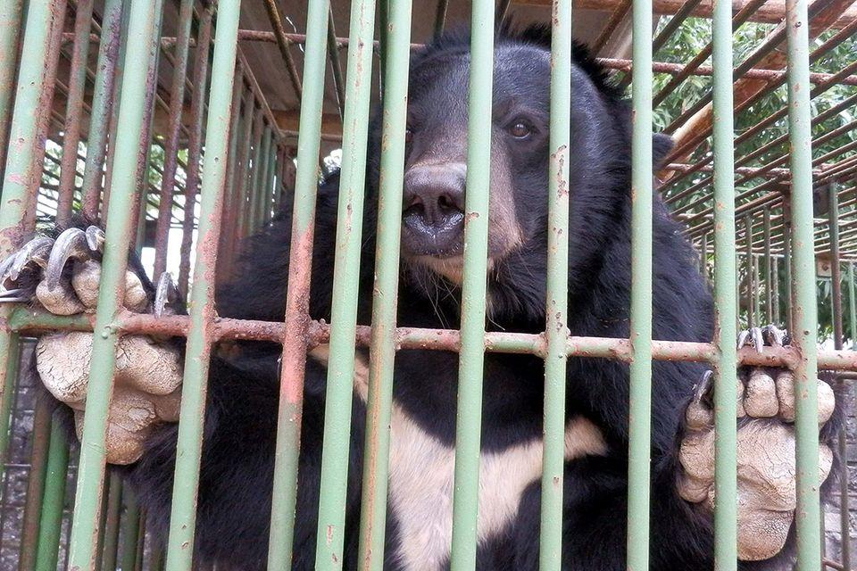 """Tierschutz in Asien: Rettung für die """"Gallebären"""""""