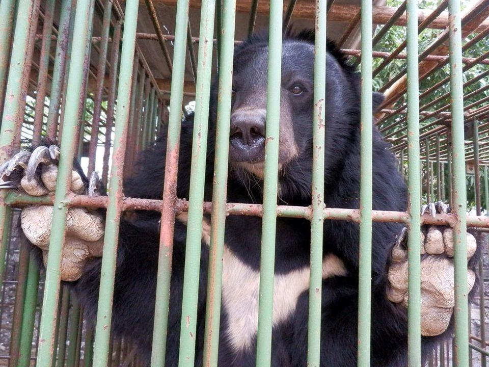 Tierschutz in Asien: Die sogenannten Gallebären werden oft in Käfigen gehalten, die nicht viel größer sind als sie selbst. Über Jahre hinweg müssen die Tiere die Tortur von Gefangenschaft und Galleabzapfen über sich ergehen lassen
