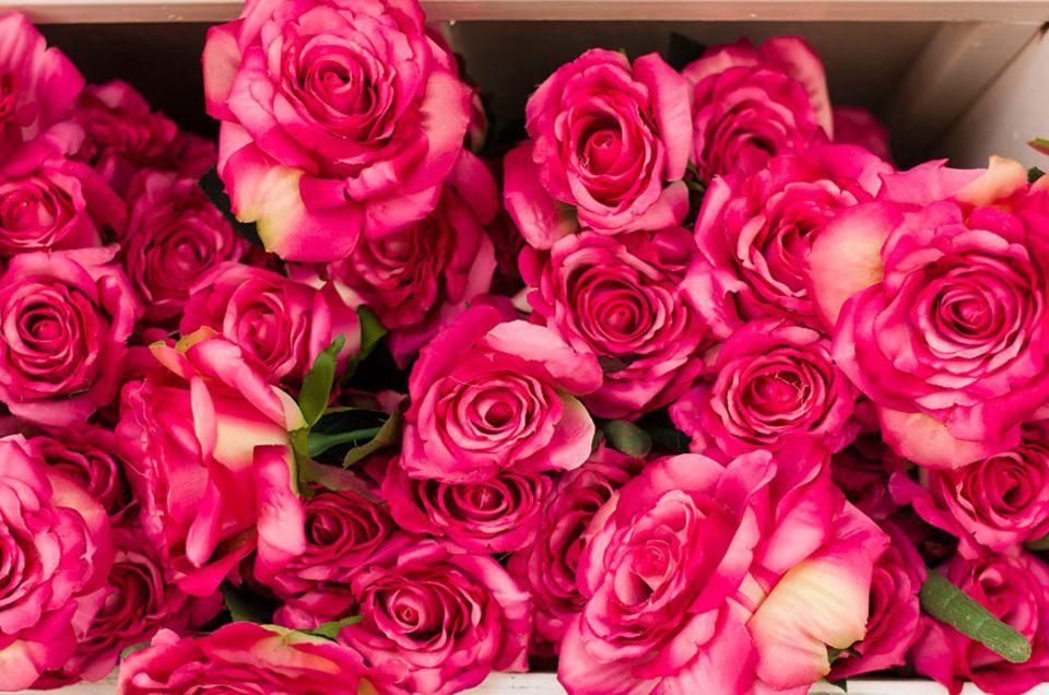 Genetik: Je globaler Rosen gehandelt werden, desto geruchloser sind sie