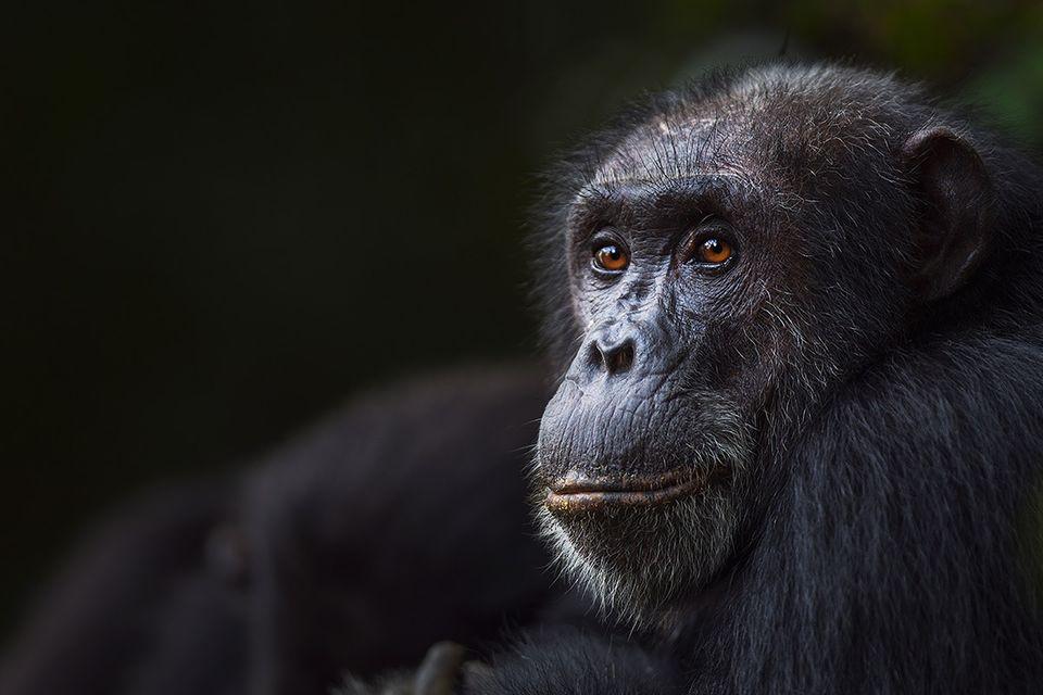 Musik und Evolution: Taktvoller Schimpanse