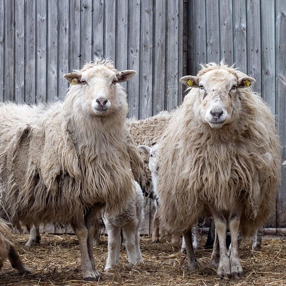 Insel Öhe: Die Schafe auf der Insel Öhe haben immer die Ruhe weg