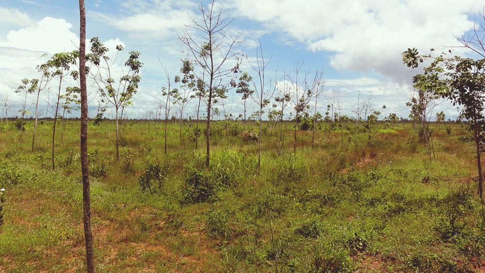 Kautschuk-Boom: Eine kümmerliche Kautschukplantage im Süden von Laos, die keine Gewinne erzielt. Die Bäume sind hier regelmäßig langer Trockenheit ausgesetzt