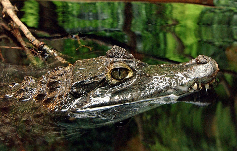 Tierlexikon: Krokodile locken ihre Beute, zum Beispiel Vögel während der Brutzeit, bewusst an indem sie sich Holz auf die Schnauze laden