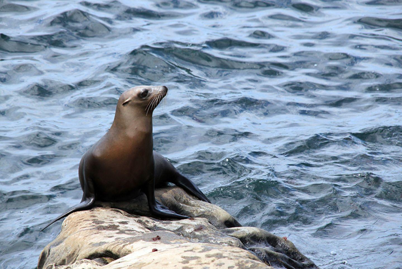 Tierlexikon: Auch an Land fix unterwegs: Seelöwen können ihre Hinterbeine nach vorne stülpen und auf diese Weise watscheln