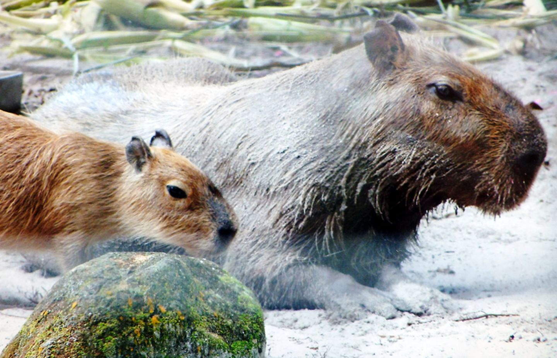Tierlexikon: Wasserschweine fühlen sich am wohlsten an Flüssen, Seen und Sümpfen