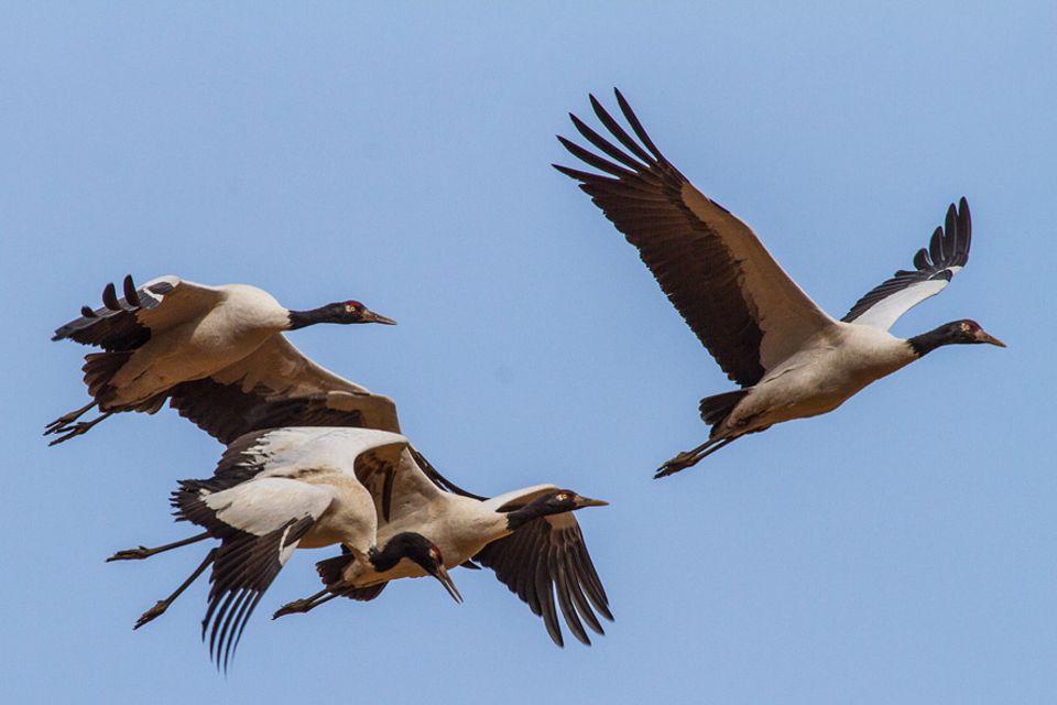 Jedes Jahr im Oktober fliegen die Kraniche in großer Zahl zur Überwinterung ins Phobjikha-Tal ein