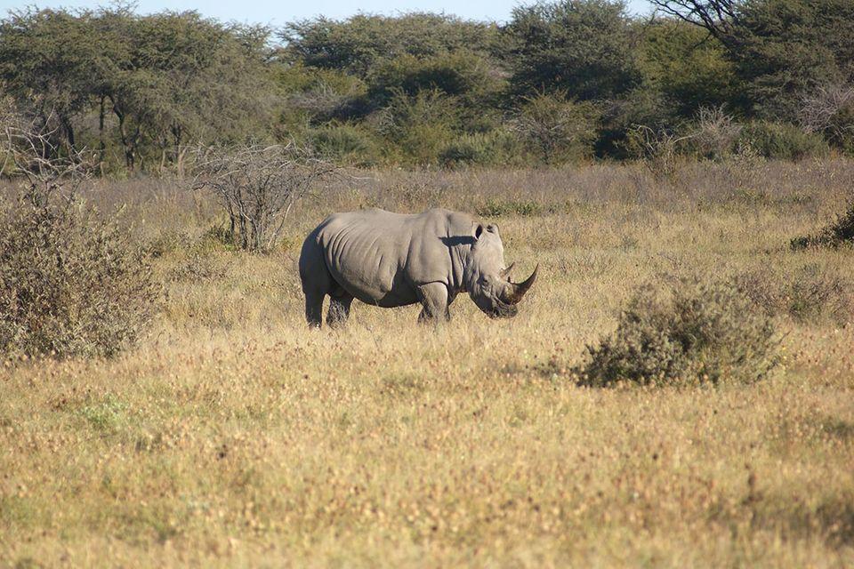 Südafrika: Tierschützer rüsten Nashörner mit Alarmsytem aus
