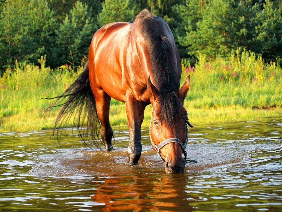 """Redewendung: Die Redewendung """"Saufen wie ein Pferd"""" leitet sich von den amerikanischen Mustangs ab"""