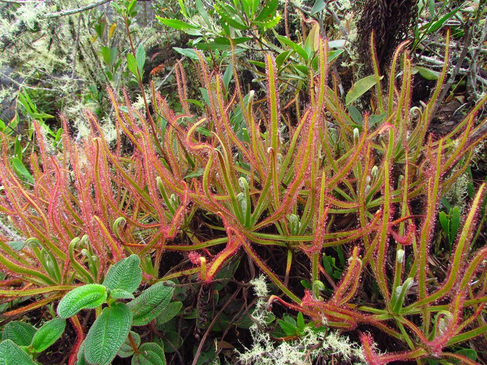 Brasilien: Die riesige neue Sonnentau-Art Drosera magnifica in ihrem natürlichen Lebensraum