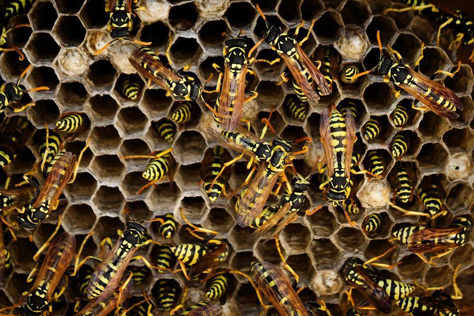 Wespen: Macht in Gemeinschaft zu leben Insekten dumm?