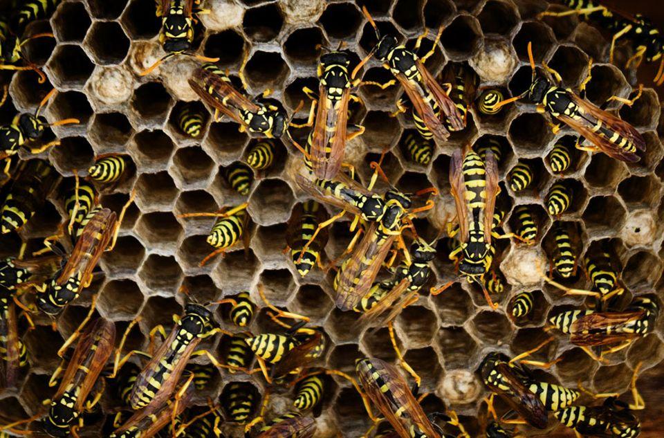 Wespen: Im Wespen-Staat sind Arbeitsteilung und Kooperation angesagt – und dazu reicht offenbar weniger Grips.