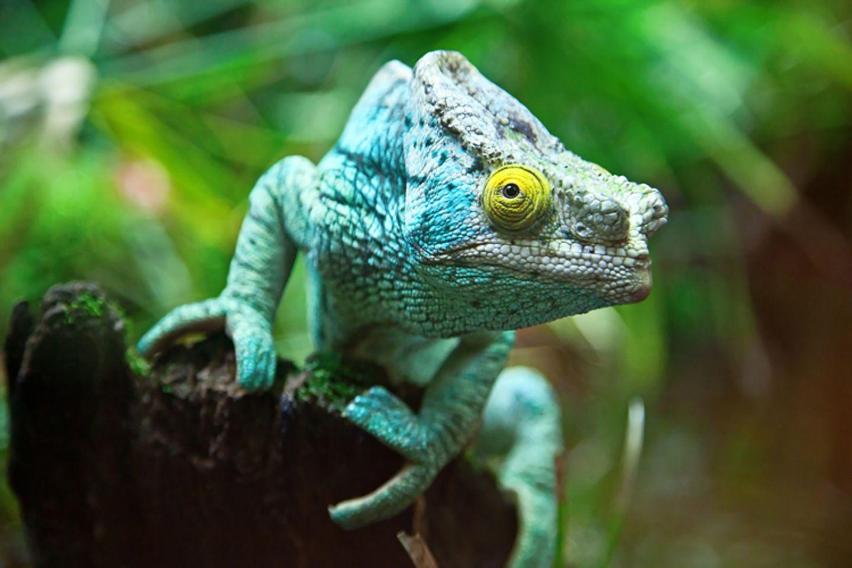 Tierlexikon: Chamäleons sind faszinierende Tiere und bekannt für ihre wechselnden Farben