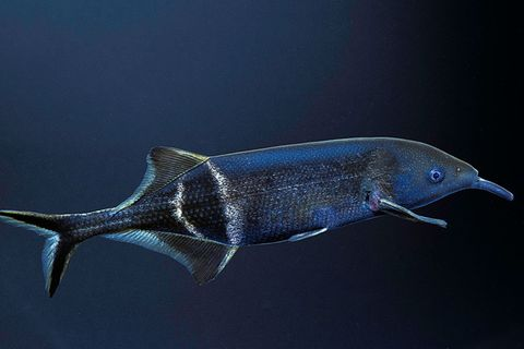 Serie: Meister der Sinne: Elefantenrüsselfisch: Elektrische Spürnase