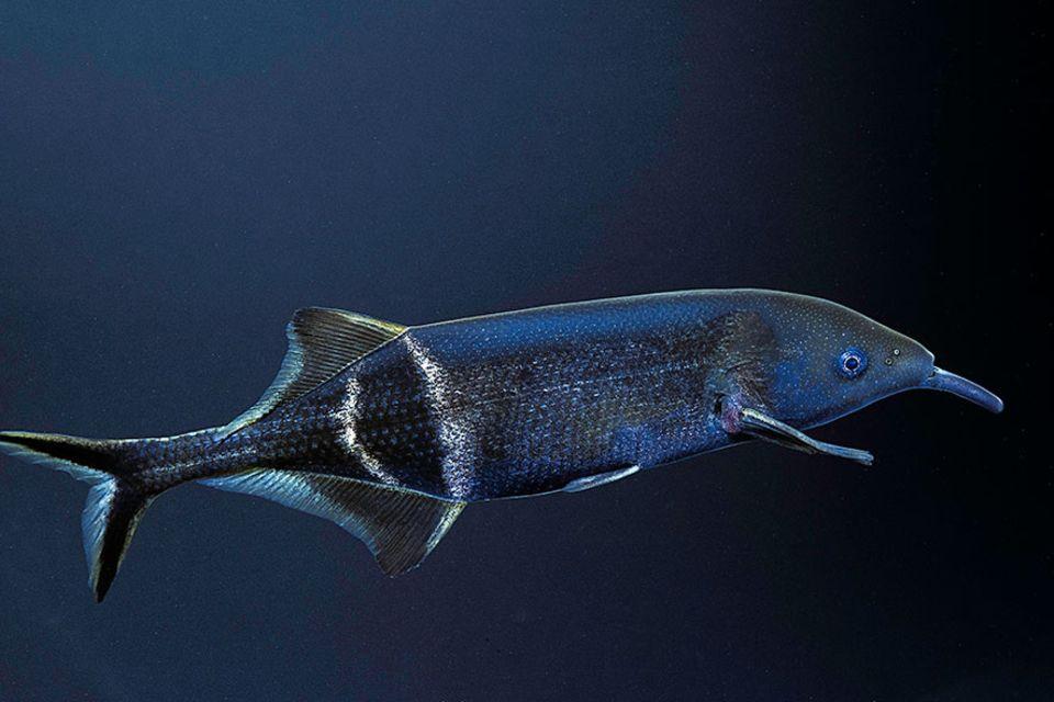 Serie: Meister der Sinne: Bei der Orientierung hilft dem Elefantenrüsselfisch ein unsichtbares Kraftfeld