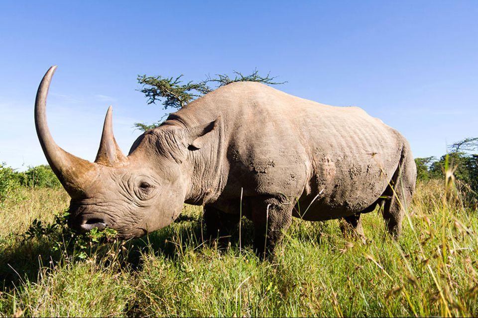 3D-Druck: Tödlicher Handel: 1215 Nashörner erlegten Wilderer 2014 allein in Südafrika, um das begehrte Horn der Tiere zu verkaufen