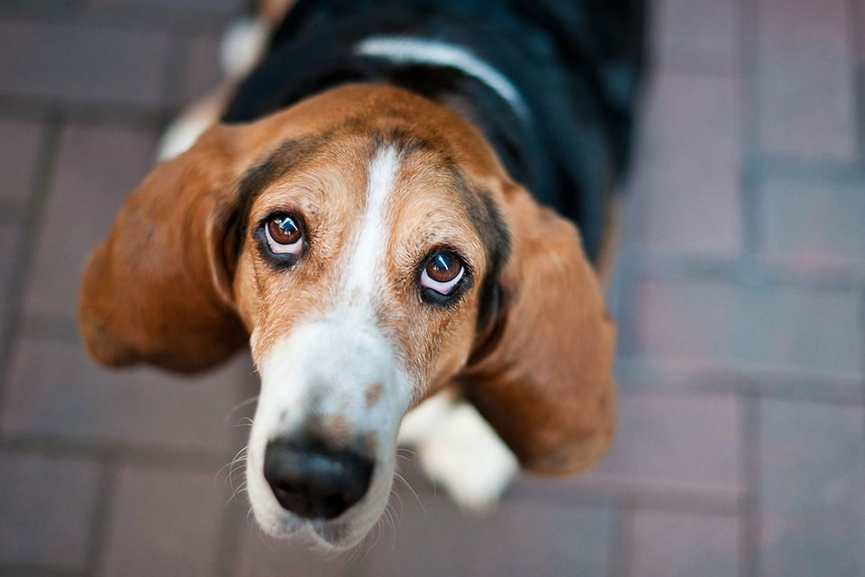 Wirkungsvoller Hundeblick: Warum können wir treuen Hundeaugen nicht widerstehen?