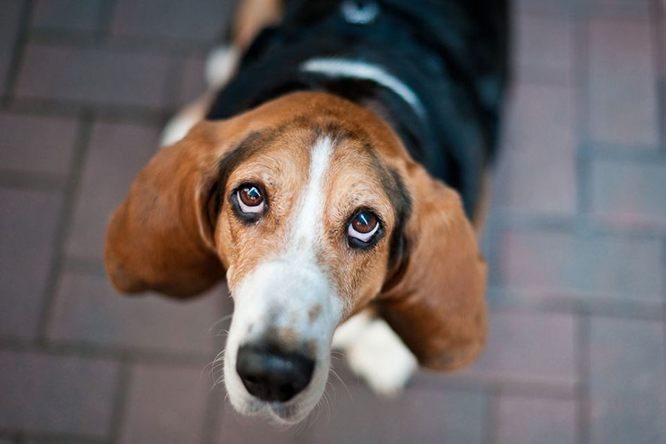 Wirkungsvoller Hundeblick: Ach, der will doch nur ...eine Verbindung zum Menschen aufbauen! Merken Sie schon, wie das Oxytocin durch Ihre Adern strömt?