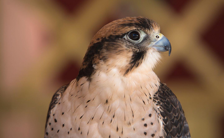 Tierlexikon: In den Vereinigten Arabischen Emiraten werden Wanderfalken verehrt