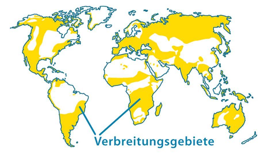 Tierlexikon: Der Wanderfalke lebt auf der ganzen Welt