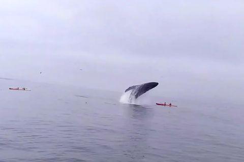 Walsafari: Irres Video: Wal versenkt Kajak