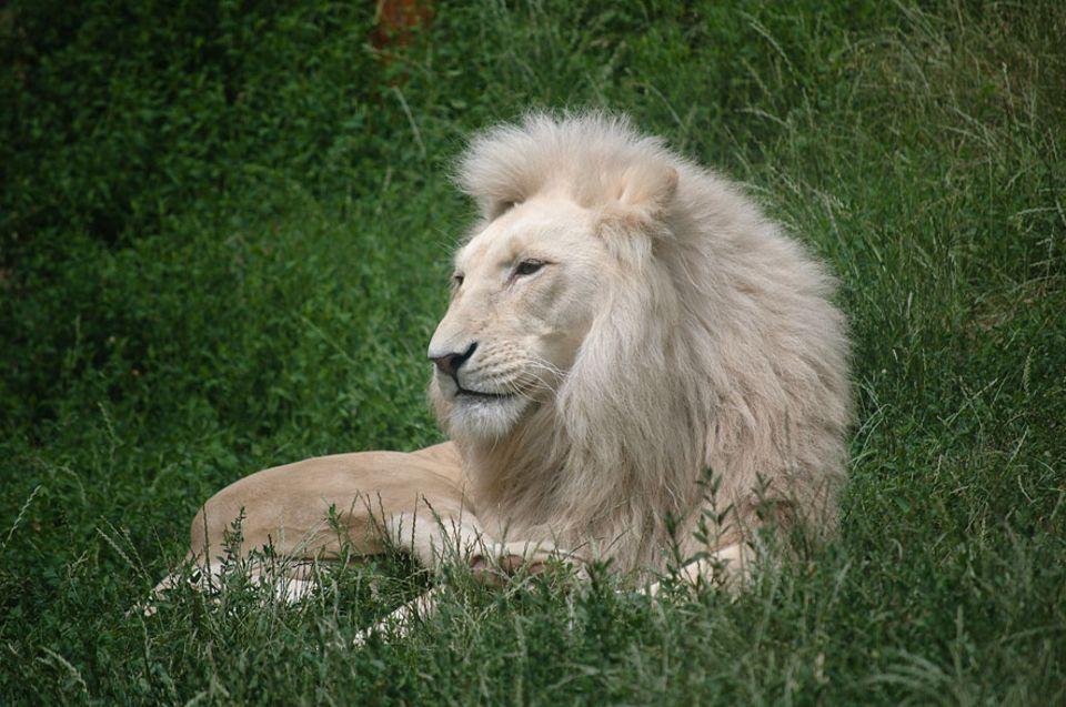 Großwildjagd: Seltenheitswert: Weiße Löwen, auf Privatfarmen eigens gezüchtet, sind bei Jagdtouristen in Südafrika besonders begehrt