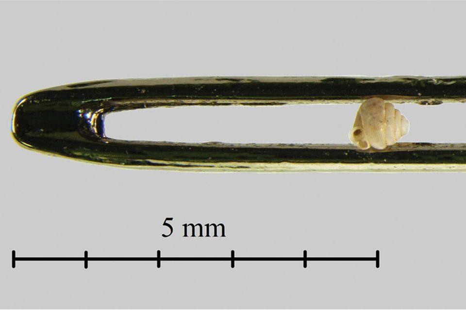 Schnecken: Gewundener Miniatur-Rekord