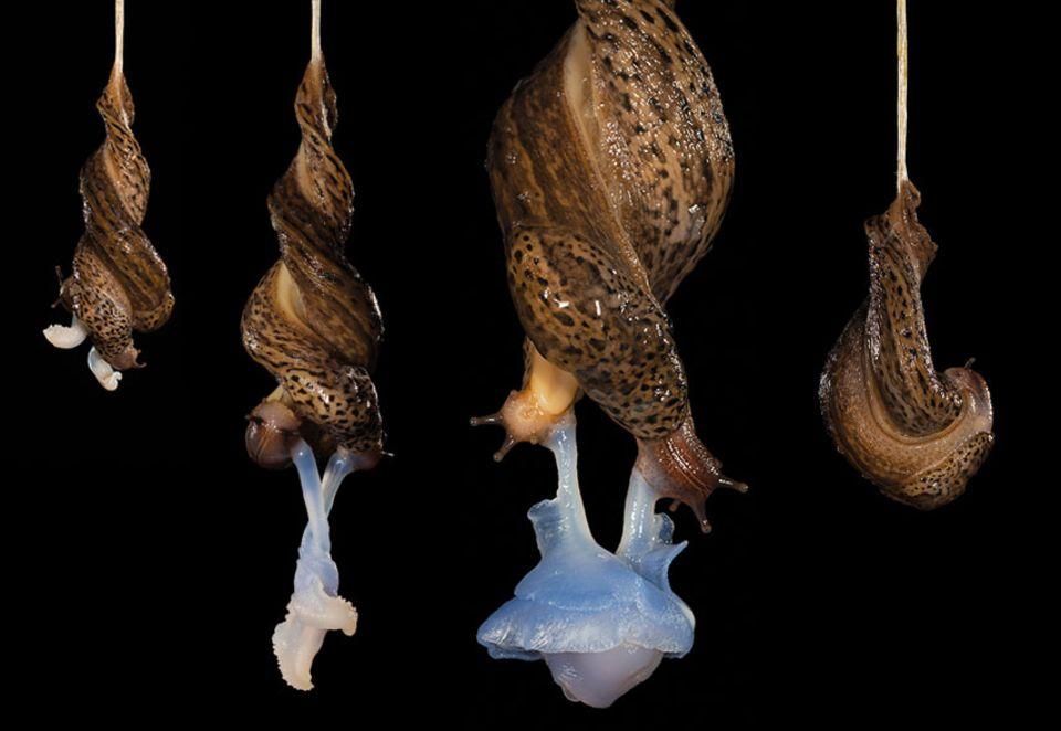 Schneckensex: Die Paarung der Tigerschnegel - ein mehrstündiger akrobatischer Akt. Innig miteinander verschlungen hängen die Partner an einem stabilen Schleimband. An den rechten Kopfseiten der Tiere treten dann ihre bläulich-weißen Penisse aus, suchen, finden und umwickeln einander. Die Penisspitzen bilden dann eine milchige Kugel, in ihr werden Samenpakete ausgetauscht