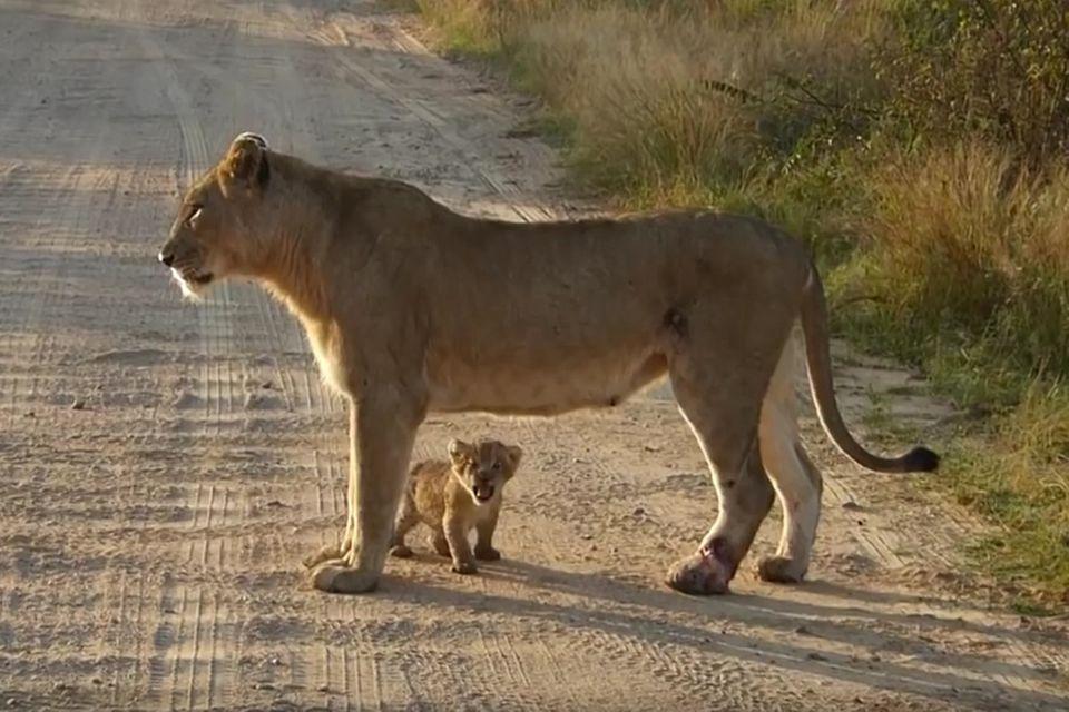 Krüger-Nationalpark: Wenn sich ein Baby-Löwe im Brüllen versucht