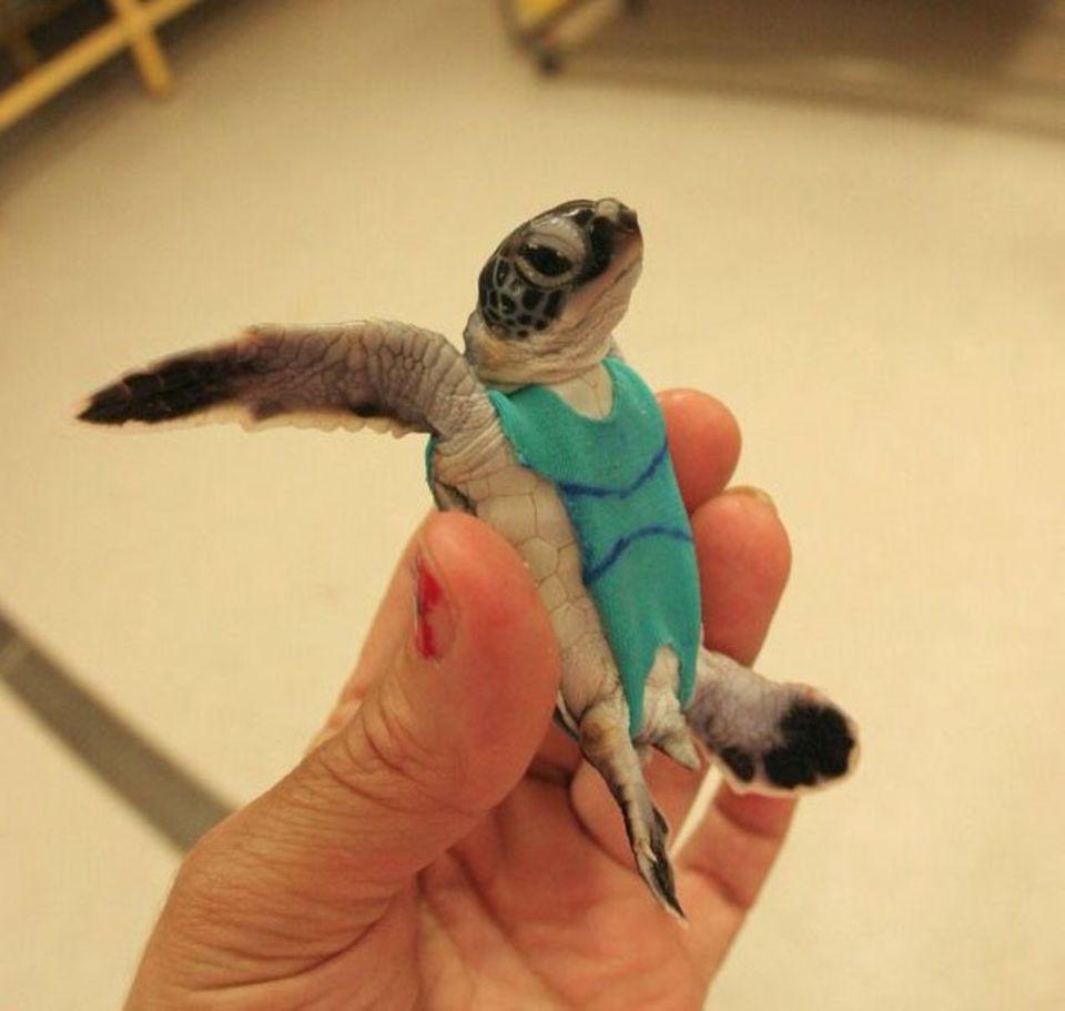 Meeresschildkröten: Kein Modegag: Der Schwimmanzug soll verhindern, dass die Schildkröten-Windel bei Tauchgängen verrutscht oder abfällt