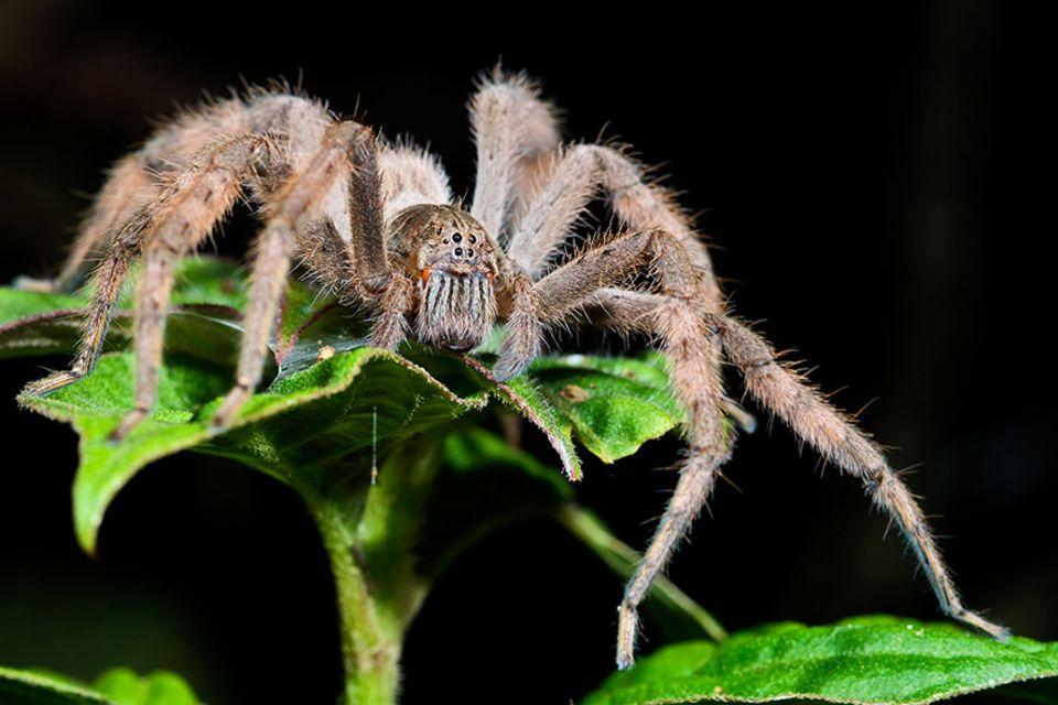 Bromelienspinne: Im Sprung erhaschen Bromelienspinnen vorbeifliegende Insekten