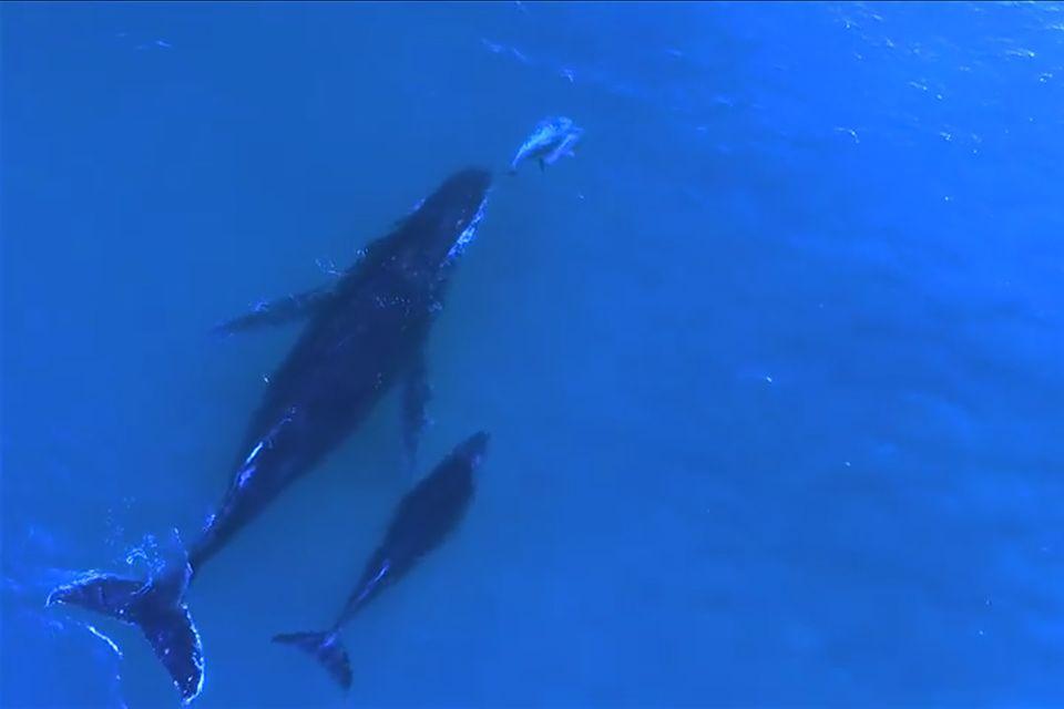 Video: Delfine und Wale schwimmen zusammen