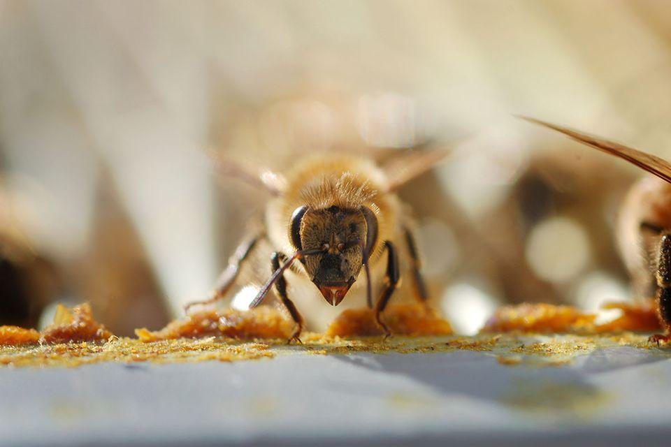 Pestizide: Bienensterben: Comeback der Neonicotinoide?