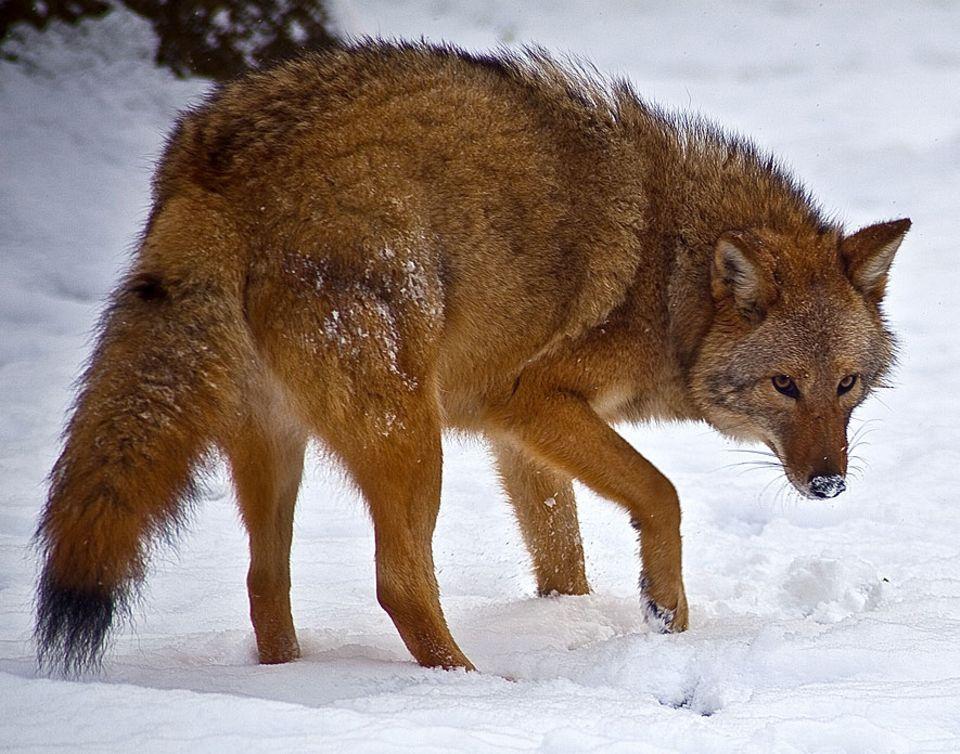 Evolution: Erstaunlich anpassungfähig: Der Coywolf, ein Hybrid aus Coyote, Wolf und Hund