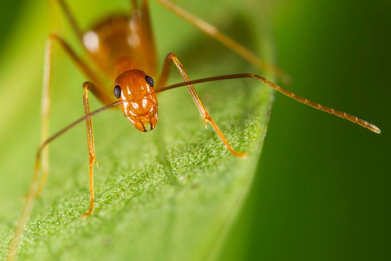 Tierlexikon: Gelbe Spinnerameisen schließen sich zu riesigen Superkolonien zusammen, wenn sie auf Artgenossen treffen